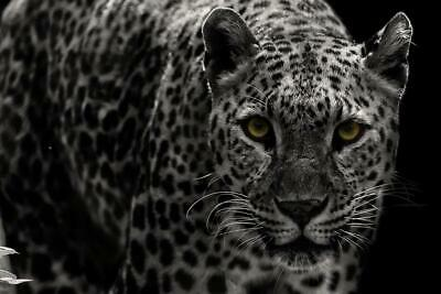 Leopard Close Up Black and White B&W Photo Art Print Poster 24x36 inch