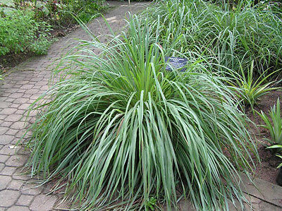 150 graines de CITRONNELLE DES INDES( Cymbopogon Citratus)H420 LEMON GRASS SEEDS