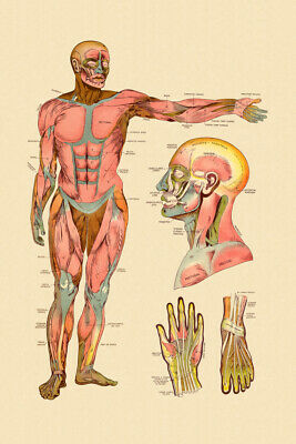 Diagram Of Front Muscles Of Human Body Vintage Anatomy Chart Poster 12x18 inch