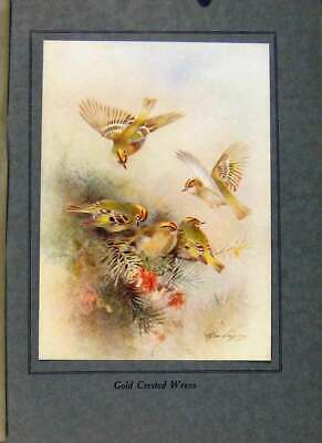 Original Old Vintage Print Birds In Flight C1922 GCrested Wrens Color 20th