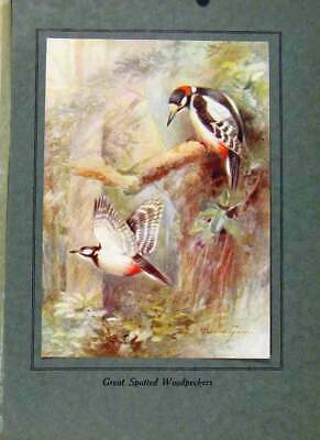 Original Old Vintage Print Birds In Flight C1922 Great Spotted Woodpeckers Color