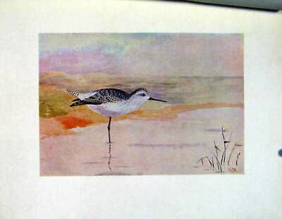 Original Old Vintage Print Color Birds C1924 Marsh Sandpiper Fine Art 20th