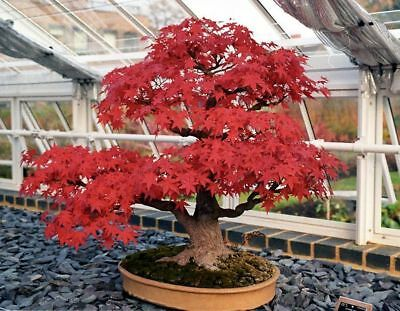 Red Maple Hybrid Bonsai Japanese Tree Cheap Seeds Very Beautiful Indoor Home Pot