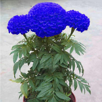 200Pcs Blue Marigold Maidenhair Seeds Home Garden Edible Flower Plant Seed Fashi
