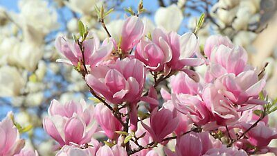 5 Light Pink White Magnolia Seeds Lily Flower Tree Fragrant Magnol