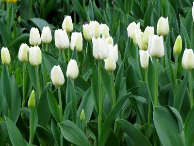 10PCs Bulbs White Tulip Root Flowers Balcony Potted Perennial Home Garden Bloom