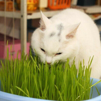 800 x Harvested Cat Grass Seeds Green Including Growing Guide Plant