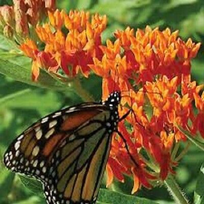 USA Orange Butterfly Weed Heirloom 25 to 200 Seeds
