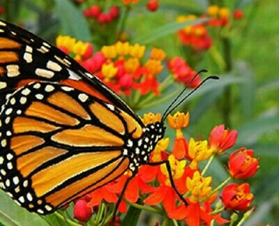 USA Tropical Butterfly Weed Heirloom 25 to 200 Seeds (Butterfly Garden)