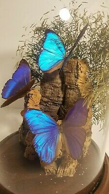 REAL BLUE MORPHO IRIDESCENT BUTTERFLY TRIO IN GLASS DOME Displayed On Cork