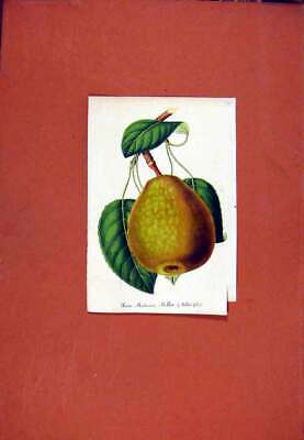 Original Old Antique Print Pear Millet Fruit Hand Colored Fine Art C1831 19th