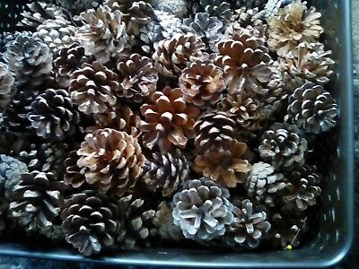 Fir Cones 5-8cm (approx 50)  quality dry cones. Natural