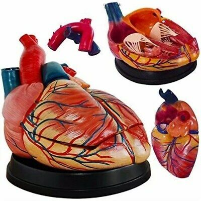 Human 3 Parts Jumbo Heart Simulation Model Medical Anatomy Model UK STOCK
