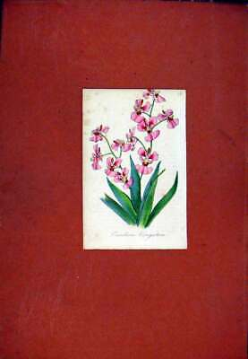 Original Old Antique Print Hand Colored Flower Plant C1831 Oncidium Art 19th
