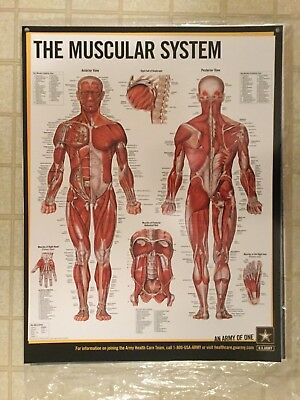 "(LAMINATED) MUSCULAR SYSTEM POSTER ANATOMICAL CHART NEW IN BOX ARMY 26"" x 20"""