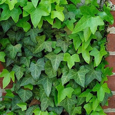 3 X Ivy Hedera Green (approx 1 foot)  cutting Hardy