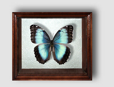 Real Insect: Morpho helenor in frame made of expensive wood !!