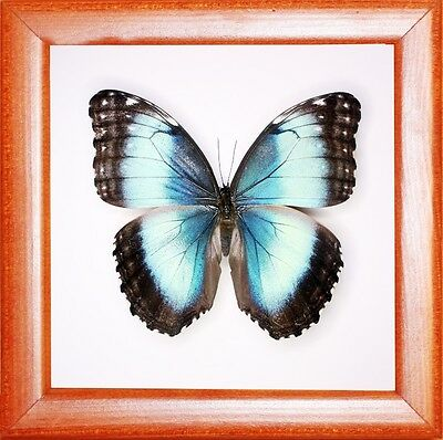 Real Insect: Morpho helenor in frame made of expensive wood !