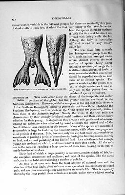 Original Old Antique Print Natural History 1894 Hind-Flippers Ringed Seal 19th