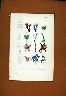 Original Old Antique Print C1831 Fine Art Hand Colored Plant Flower 19th Century