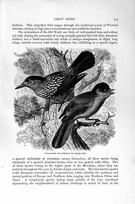 Original Old Antique Print Natural History 1894-95 Nutcracker Siberian Jay Crow