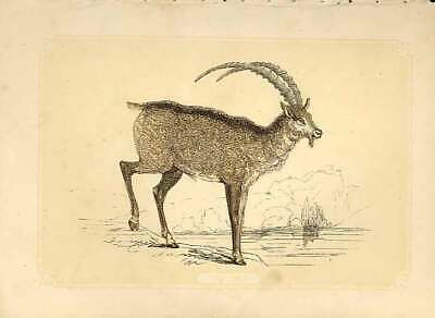 Original Old Antique Print The Ibex 1860 Coloured Engraving Sepia Style 19th