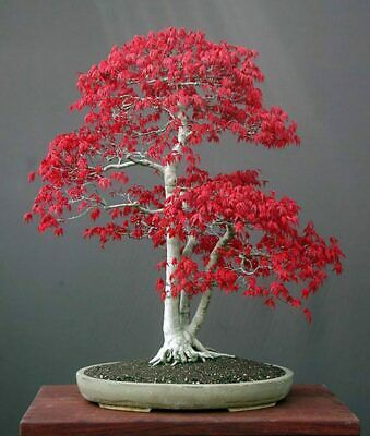 Buy 30pcs Seeds Bonsai Red Maple Cultivation Ornamental Trees Home Garden