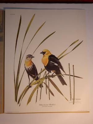 Ray Harm Yellow Head Blackbird Pencil Signed Print Frame House Gallery 20 By 16