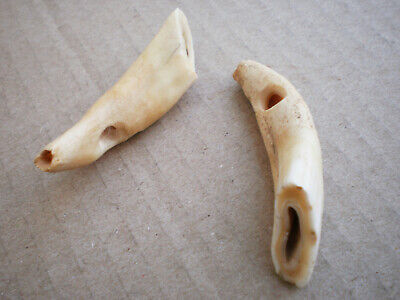 ANCIENT RARE Viking Bone Amulet Fangs of Predator 10 - 12 century AD Wearable
