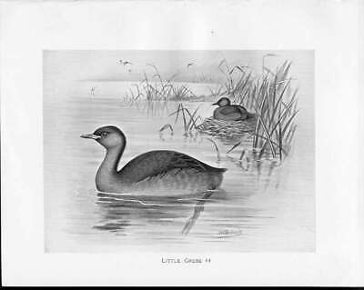 Old Antique Print C1898 Birds Frohawk Drawings Male Little Grebe Nesting 19th