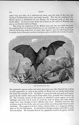 Original Old Antique Print Natural History 1893-94 Pipistrelle English Bat 19th