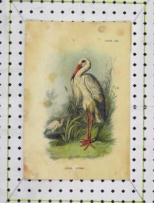 Original Old Antique Print C1850 Colour White Stork Wild Bird Nature Victorian