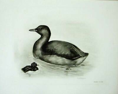 Old Antique Print 1908 Little Grebe Podicipes Fluviatilis Male Nestling 20th