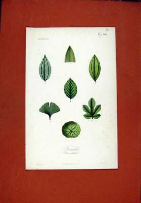 Original Old Antique Print Feuilles Flower Leaf Leaves Color C1831 Plant 19th