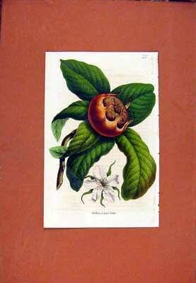 Original Old Antique Print Flower Plant Hand Colored Fruit C1831 19th Century