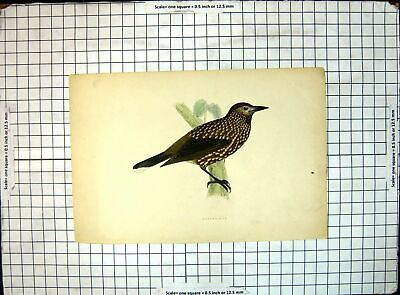 Original Old Antique Print Picture Bird Nutcracker