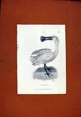Original Old Antique Print Spoonbill Birds Fine Art C1831 Sketch 19th Century