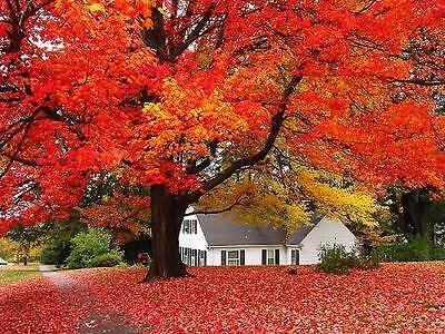 20+ Japanese Maple Tree Seeds Acer Palmatum