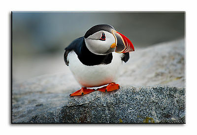 Large Wall Art Canvas Picture Print of Puffin Bird Framed