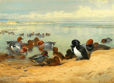 Archibald Thorburn  Teal Tufted Ducks and Widgeon  1912      Wall Art  Canvas