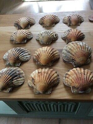 12 large scallop shells top and bottom