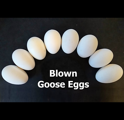 """Eight (8) Blown Goose Eggs ~9"""" x ~7.5"""" FREE SHIPPING! For Crafts, Pysanky, Decor"""