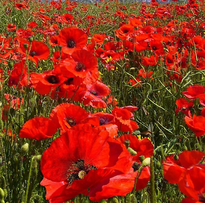 Wild Flower Red Field Poppy Papaver Rhoeas 30000 Seeds Annuals