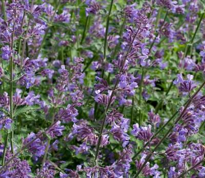 plant in a 17cm Pot Nepeta Mussinii catmint
