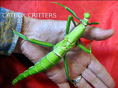 50 Eggs / Ova. Diapherodes Gigantea Stick Insect. Green Bean. Exotic Pet Phasmid