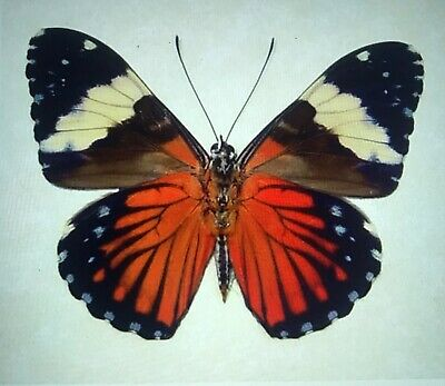 Lot Of 10 Real Butterflies Hamadryas Anphinome A1. Red Cracker Butterfly. Peru