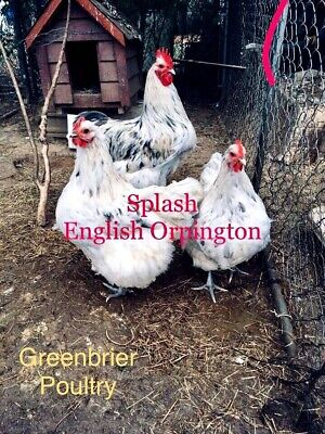 LAVENDER ORPINGTON 12+ Fresh Hatching Eggs NPIP - $35 00