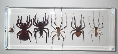 6 Spider Collection Set in clear acrylic Block Education Real Insect Specimen