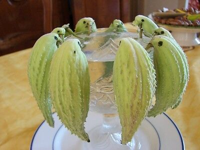 40 graines d'HERBE AUX PERRUCHES(Asclepias Syriaca)G81 COMMON MILKWEED SEEDS