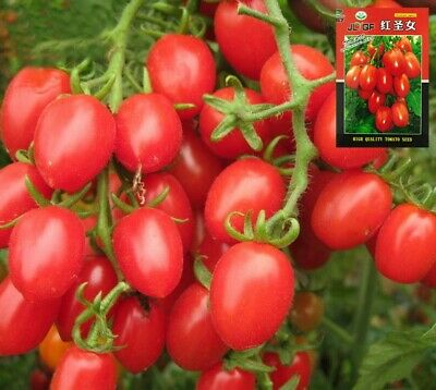 Chinese Asian cherry tomato 500seeds Garden color package 原装彩包蔬菜圣女果番茄种子